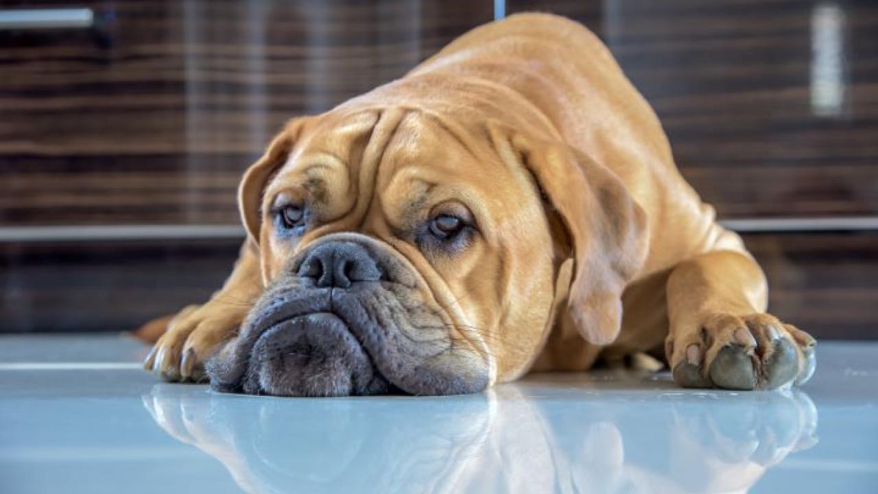 Krebs Bei Hunden Warum Es Immer Mehr Wird Vawidoo
